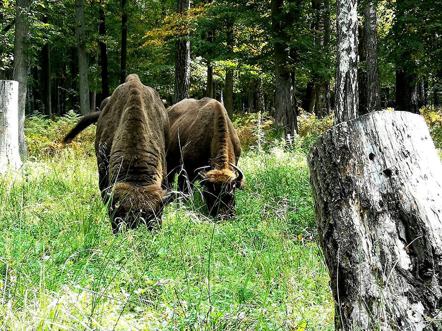 Как живут зубры в заповеднике под городом Серпухов