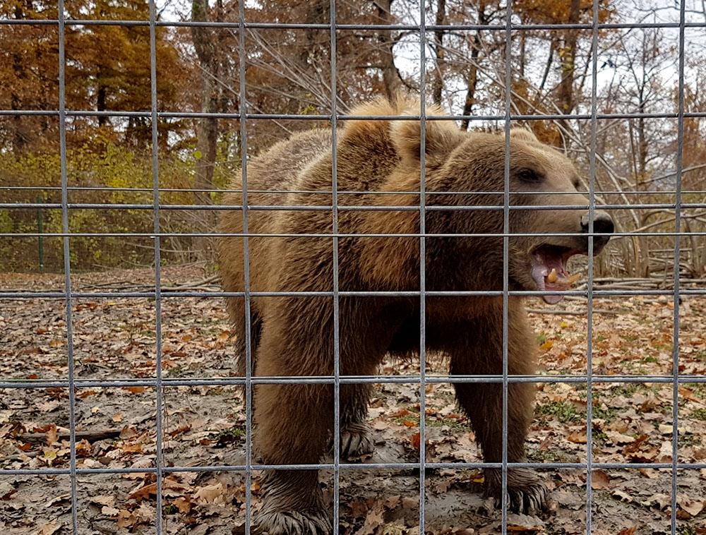 Трансильвания. Уникальный приют для старых и больных медведей.