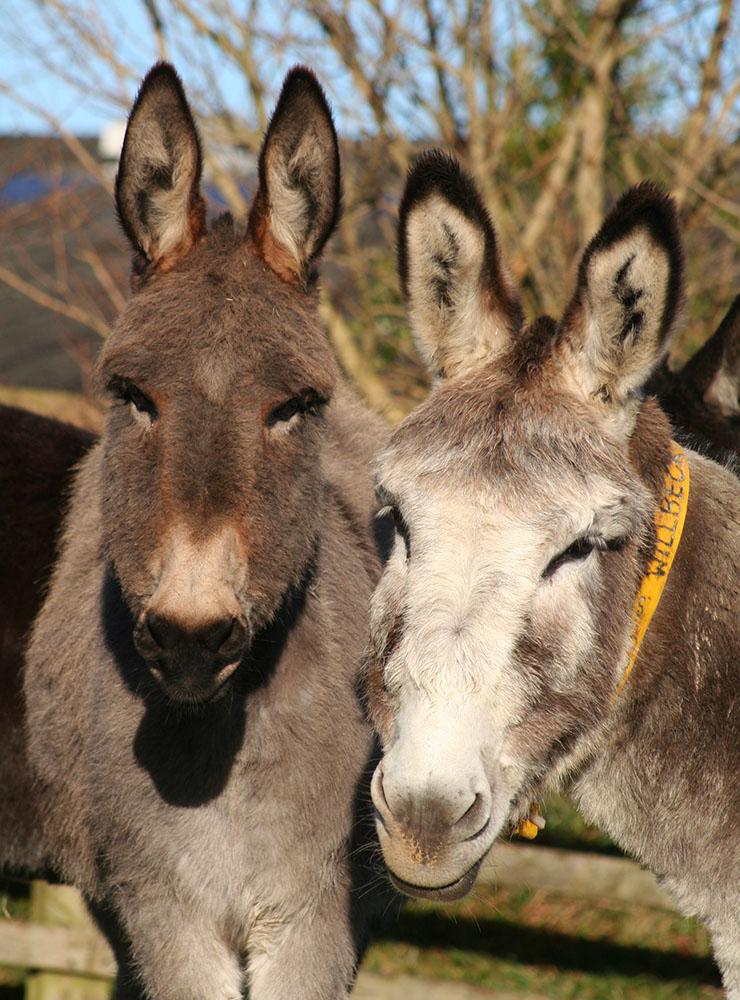 Donkey Sanctuary. Тут помогают осликам