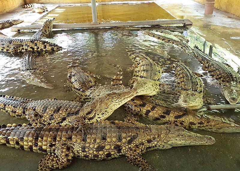 Израиль. Симпатичные крокодильчики с фермы в Хамат Гадер
